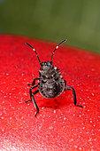 Brown marmorated stink bug (Halyomorpha halys) 2nd instar larva