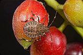Brown marmorated stink bug (Halyomorpha halys) 4th instar larva