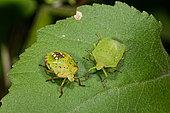 Southern Green Stink Bug (Nezara viridula) adult and larva