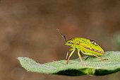 Southern Green Stink Bug (Nezara viridula) larva