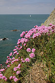 Thrift seapink (Armeria maritima) flowers, Cancale, Britany, France
