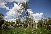 Rimmed lichen (Asphodelus albus) in a meadow, Bocage vendeen, France