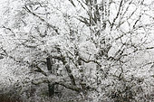 English oak (Quercus robur) under the frost in winter, Touraine, France