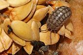 Cloporte commun (Armadillidium vulgare) sur des détritus alimentaires du bac à compost
