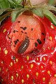 Cloporte commun (Armadillidium vulgare) mangeant une fraise la nuit