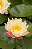 Water lily (Nymphaea sp) 'Mangkala Ubol'