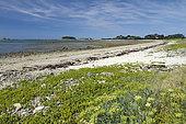 Sea sandwort (Honckenya peploides) and sea fennel (Crithmum maritimum), Plougrescant, Côtes-d'Armor, Brittany, France