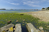 Green algae (Ulva spp) at the exit of a channeled creek, Porz Scaff, Plougrescant, Côtes-d'Armor, Brittany, France