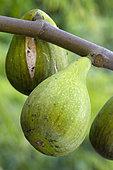 Figue (Ficus carica) 'Dalmatie'