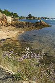 Rock sea-lavander (Limonium binervosum), Bréhat island, Côtes-d'Armor, Brittany, France