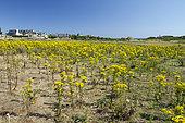 Sénéçon de Jacob (Jacobaea vulgaris), île de Bréhat, Côtes-d'Armor, Bretagne, France