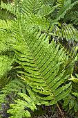 Chilean hard fern (Blechnum cordatum). Syn.: Blechnum chilense