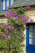Bougainvillea x specto-glabra in a private garden, Côtes-d'Armor, Brittany, France