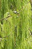 Chinese weeping cypress (Cupressus funebris)