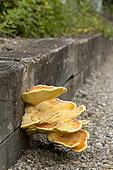 Sulfur polypore (Laetiporus sulphureus) on an oak border