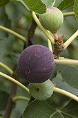Figuier du Penjab (Ficus palmata)