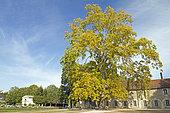 London plane (Platanus x hispanica), parc de l'Arquebuse, Dijon, France