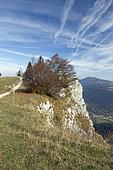 Common beech (Fagus sylvatica) near the summit of Mont d'Or, Métabief, Doubs, France