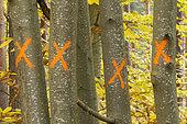 Trunks of chestnut trees (Castanea sativa) marked before felling
