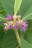 Koch's beautyberry (Callicarpa kochiana)