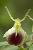 Orchid (Epidendrum porpax)