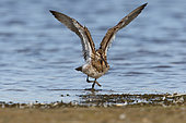 Eurasian Curlew (Numenius arquata) adult male coming out of the water after bathing shaking wings spread on the edge of a pond, September, South Finistère, France