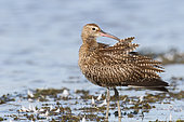 Eurasian Curlew (Numenius arquata) Adult male smoothing feathers after bathing at the edge of a pond, September, South Finistère, France