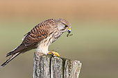 Female Falcon Kestrel (Falco tinnunculus) devouring a praying mantis on a spade, September, South Finistère, France