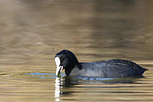 Common Coot (Fulica atra) adult eating aquatic plants in a pond, October, South Finistère, France