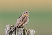 Wryneck (Jynx torquilla) adult on a picket in autumn migration observing, September, Finistere, France