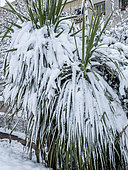 Yucca aloifolia sous la neige