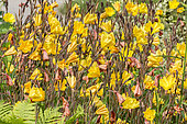 Oenothera sulfurea