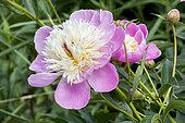 Paeonia lactiflora 'Bowl of Beauty' Obtenteur : Hoogendoorn 1949