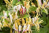 Lonicera japonica var chinensis