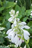 Hosta plantaginea var. japonica