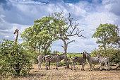 Plains zebra (Equus quagga burchellii) and Giraffe (Giraffa camelopardalis) in Kruger scenery National park, South Africa