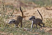 Meerkats (Suricata suricatta), two young males walking, Kgalagadi Transfrontier Park, Northern Cape, South Africa, Africa