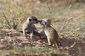 Meerkats (Suricata suricatta), two young males playing, nose to nose, Kgalagadi Transfrontier Park, Northern Cape, South Africa, Africa