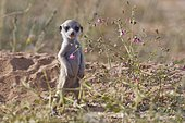Meerkat (Suricata suricatta), young male standing at burrow, looking out, alert, Kgalagadi Transfrontier Park, Northern Cape, South Africa, Africa