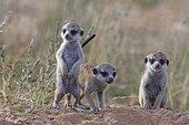 Meerkats (Suricata suricatta), three young males at burrow, alert, Kgalagadi Transfrontier Park, Northern Cape, South Africa, Africa