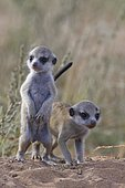 Meerkats (Suricata suricatta), two young males at burrow, alert, Kgalagadi Transfrontier Park, Northern Cape, South Africa, Africa