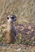 Meerkat (Suricata suricatta), young male sitting at burrow, looking out, alert, Kgalagadi Transfrontier Park, Northern Cape, South Africa, Africa