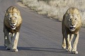 African lions (Panthera leo), two adult males walking on a tarred road, Kruger National Park, South Africa, Africa
