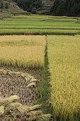 Rice Harvest in Imerina, Antsirabé Region, Madagascar