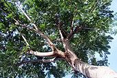 White leadtree (Leucaena leucocephala), Ranohira, Isalo Massif, Madagascar