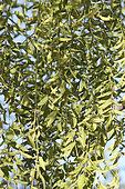 Moringa foliage (Moringa drouhardii), Ranohira, Isalo Massif, Madagascar