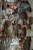 Delonix bark (Delonix floribunda) Antsokay, Tulear Province, Madagascar