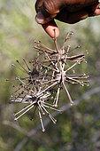 Uncarina fruit (Uncarina stellulifera), Ifaty, Madagascar