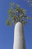 Madagascar Palm (Pachypodium geayi), Antsokay, Province of Tulear, Madagascar