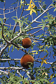Baobab fruit (Adansonia rubrostipa), Ifaty, Province of Tulear, Madagascar